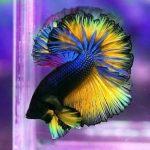 рыбки петушки фото